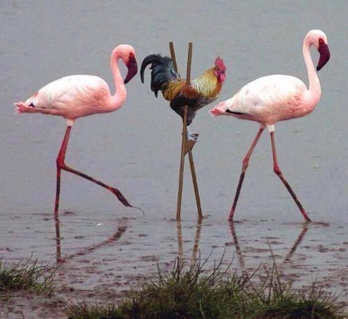 gallo y flamencos